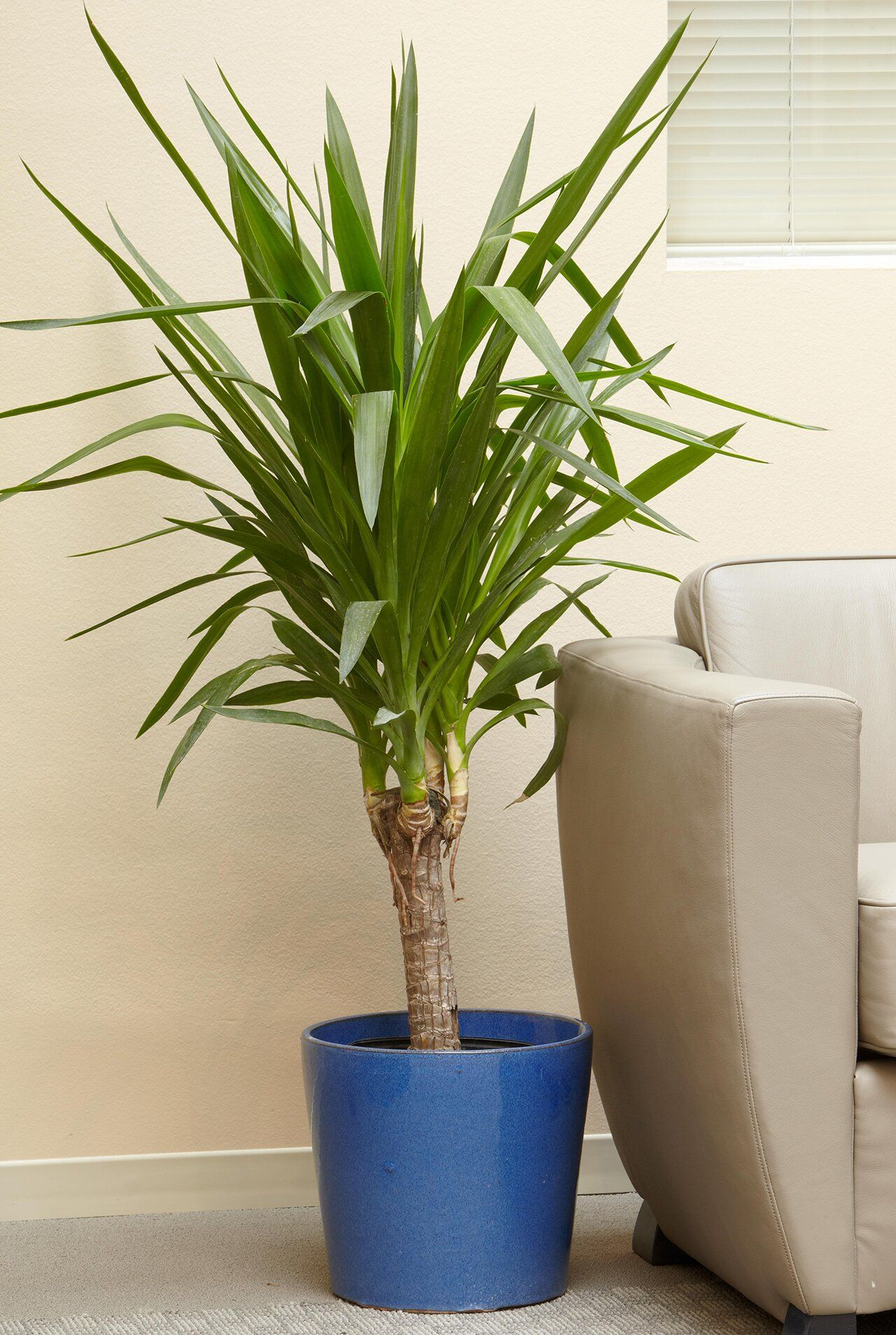 23 Of Our Favorite Low Light Houseplants In 2020 Yucca 400 x 300