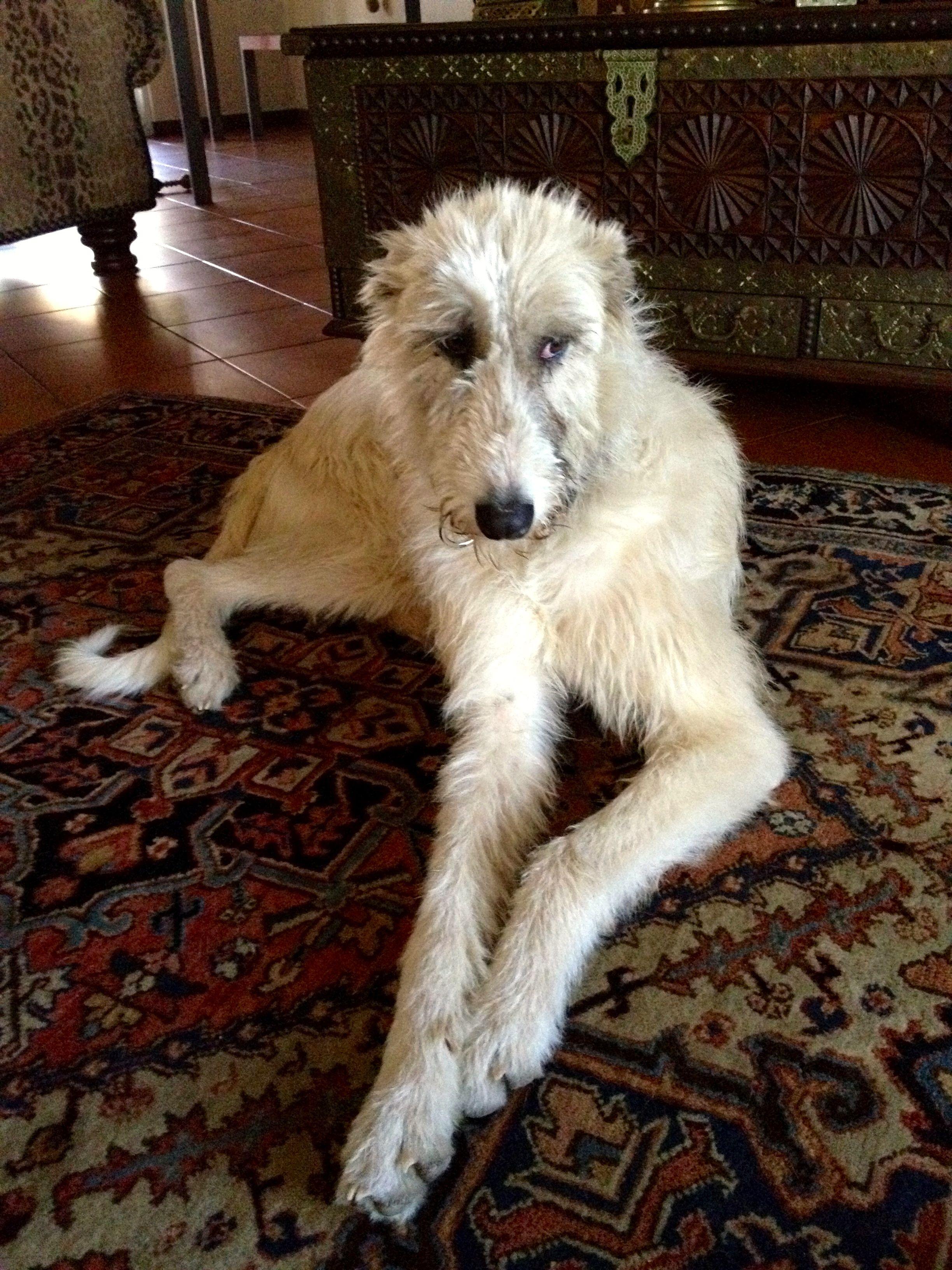 Beautiful Lurcher Dogs Irish Wolfhound Dog Breeds