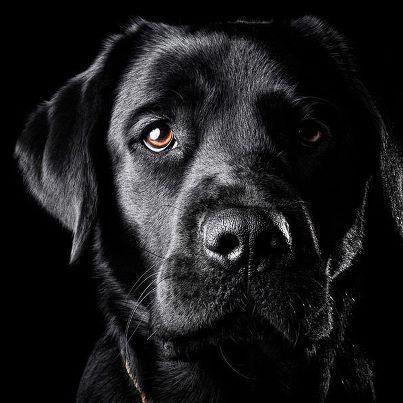 How To Train Your German Shepherd Dog In 2020 Black Labrador Black Labrador Retriever Black Dog