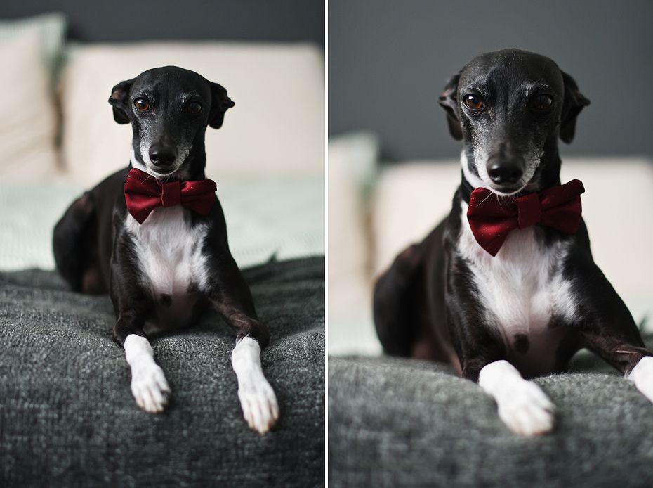 Beautiful Bow Tie Bow Adorable Dog - db0cb0a03bf27cfde5f700a0fe9f4b0b  Graphic_469285  .jpg