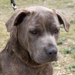 Dandelion Is An Adoptable Mastiff Dog In Richmond Va Meet