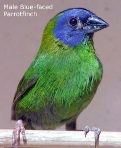 Blue-faced Parrotfinch: southeast Asia to New Guinea, northern Australia and many Pacific Islands