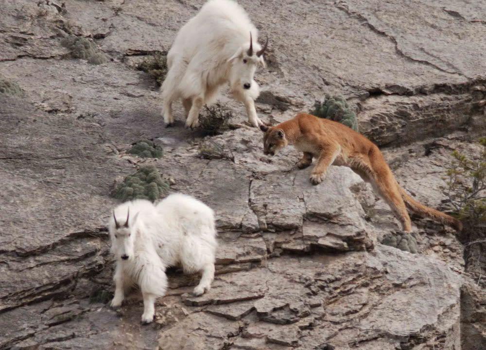 Cougar stalking mountain goat   Captivating Cats   Pinterest ...