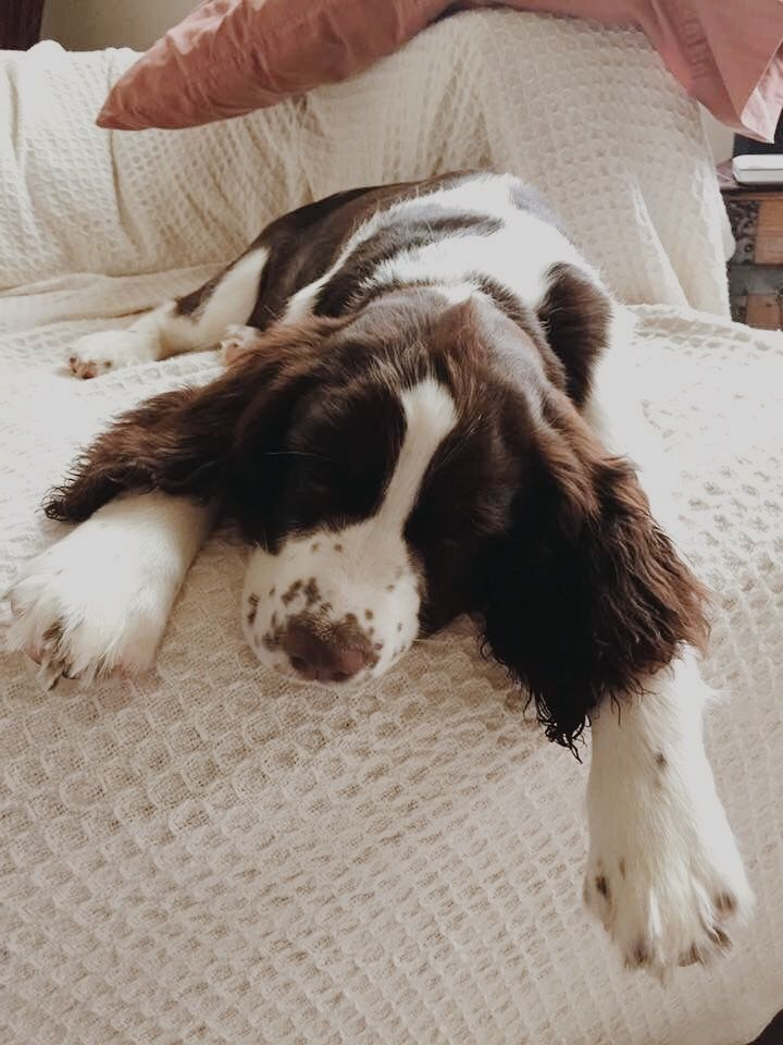 Close Up Winter Sam The Black And White Ticked English Springer Spaniel Puppy Is Sit Springer Spaniel Puppies English Springer Spaniel Puppy Springer Spaniel