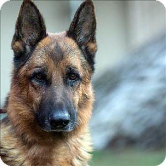Oceanside Ca German Shepherd Dog Mix Meet Rocky A Dog For Adoption Http Www Adoptapet