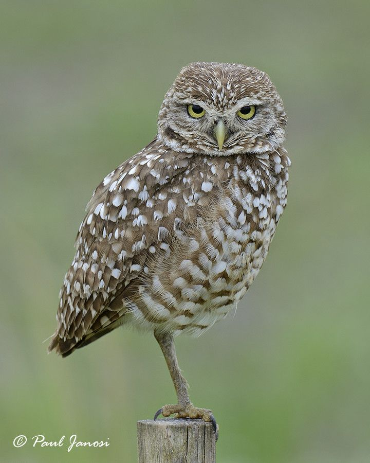 Burrowing Owl by Paul Janosi on 500px