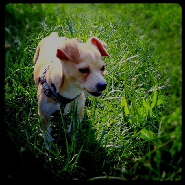 Our Jack Chi Paco Best Dog Ever Chihuahua Love Grand Dog Dog Person