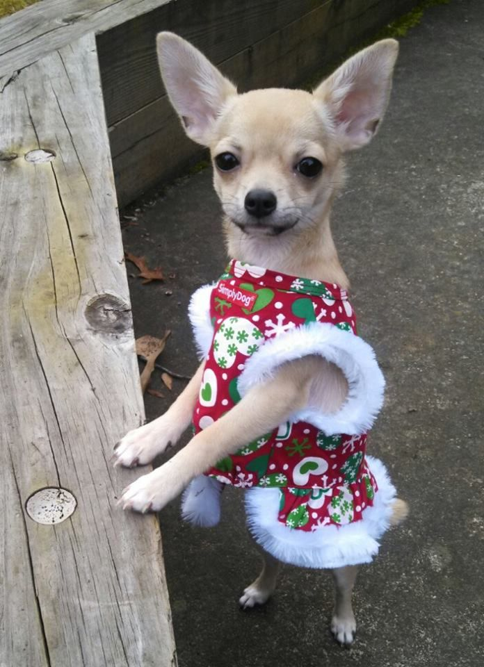 Simply Dog Chihuahua Clothes Keeping The High Metabolism