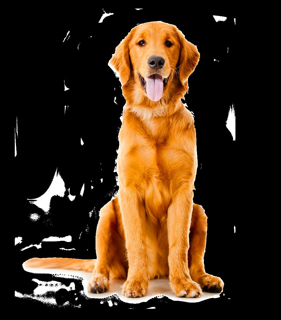 Golden Retriever Labrador Retriever Puppy Dog Breed Dog Golden Retriever Pet Bandana Dog Bandana
