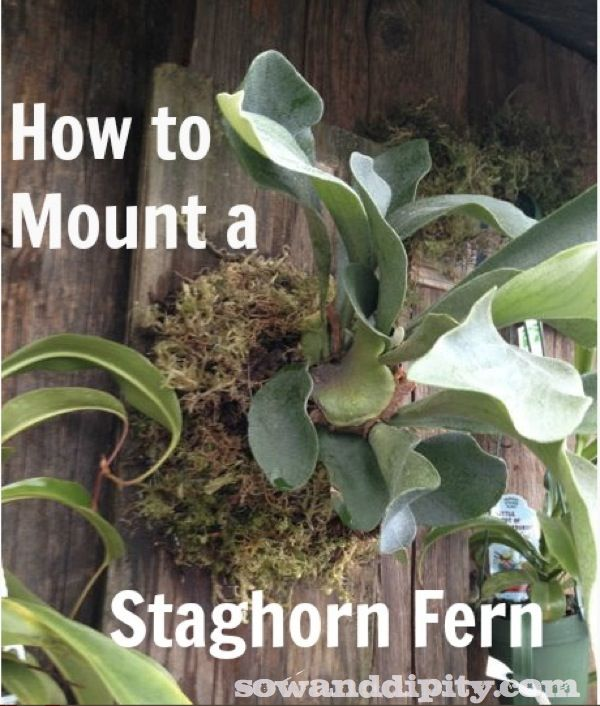 How to mount a Staghorn fern #verticalgardening