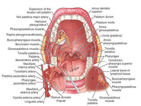 tooth anatomy #dental #teeth #smile #dental #smile #teeth   Teeth ...