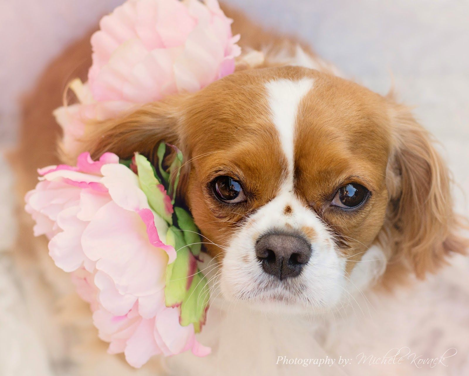 LOVE this picture! King Charles Cavalier Spaniel!! Photo by Michele Kovack!