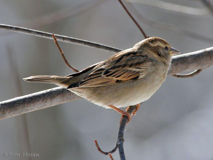 House Sparrow, female House sparrow, Animals, Wildlife
