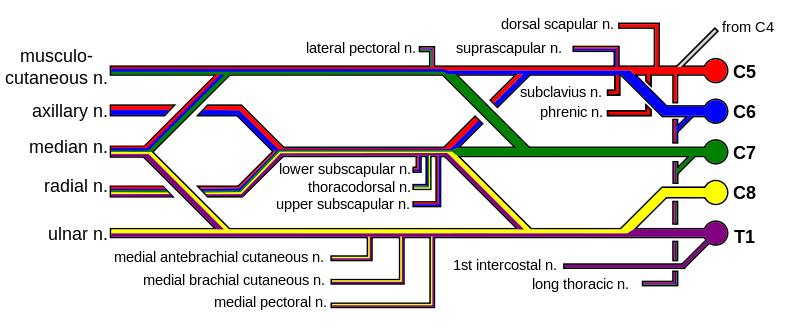 Brachial Plexus Subway Map.Color Coded Brachial Plexus Study Help Plexus Products Axillary
