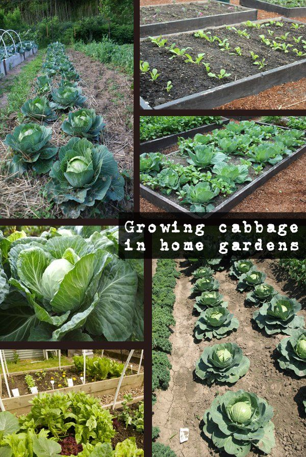 Growing Cabbage In Home Gardens By Magazinez Net Growing Cabbage