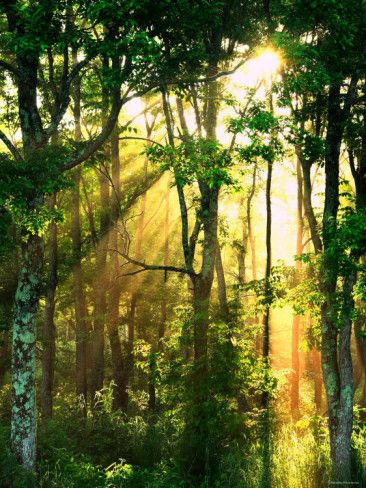 'Sunbeams Through the Trees' Photographic Print  | AllPosters.com
