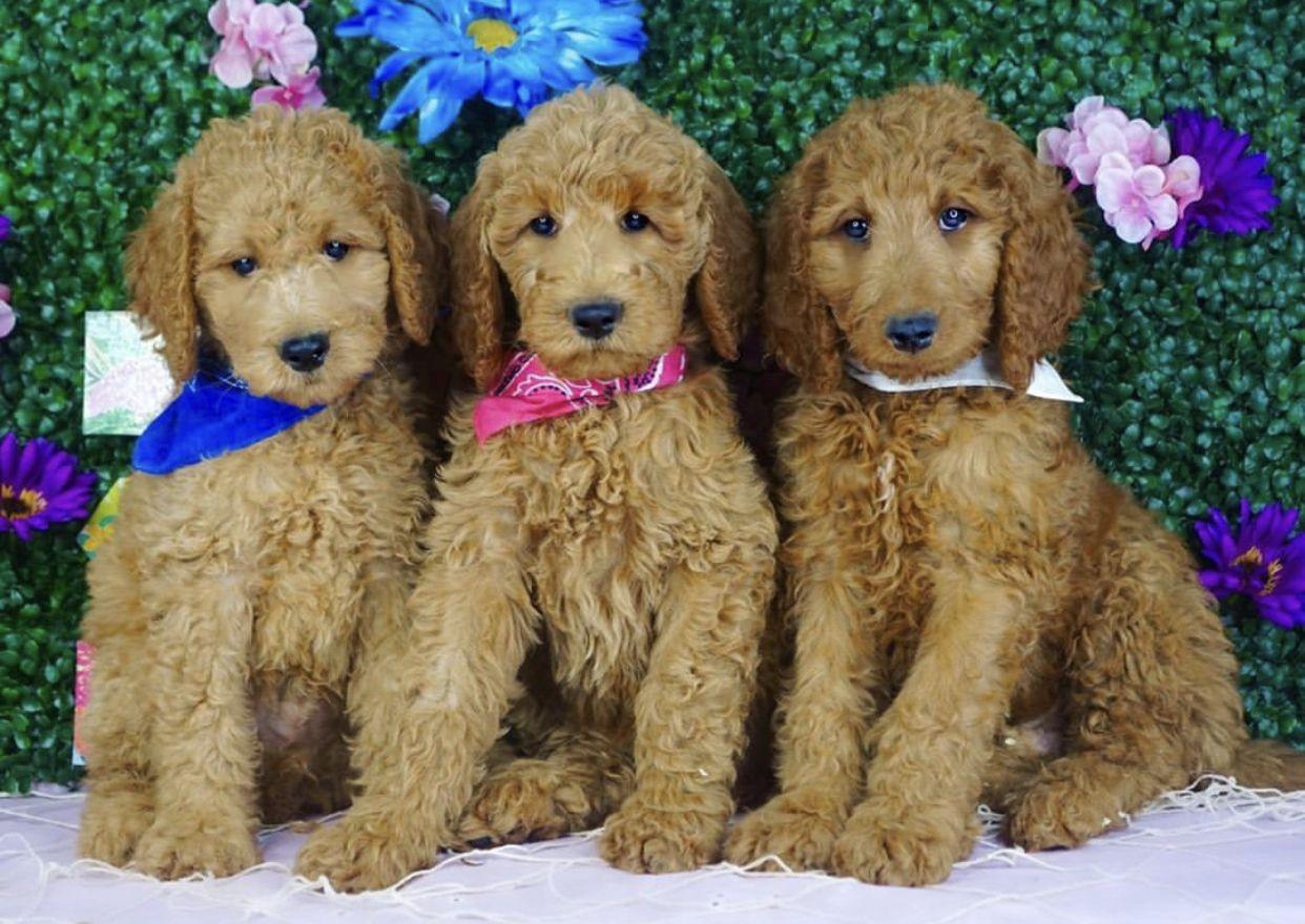 Goldendoodle Labradoodle Labradorretriever Goldenretriever Puppies Puppy Teddybeardog Doodlepuppy Ador In 2020 Goldendoodle Goldendoodle Breeders Doodle Puppy
