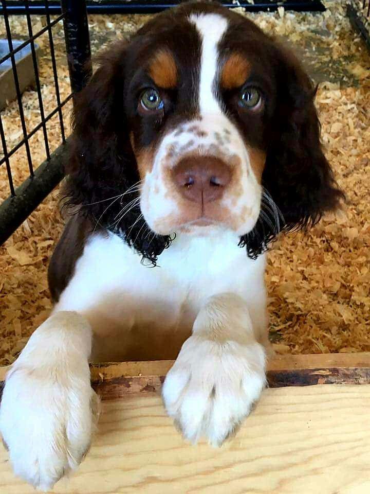Springer Spaniel Puppy … | cute animals | Springer spaniel puppies