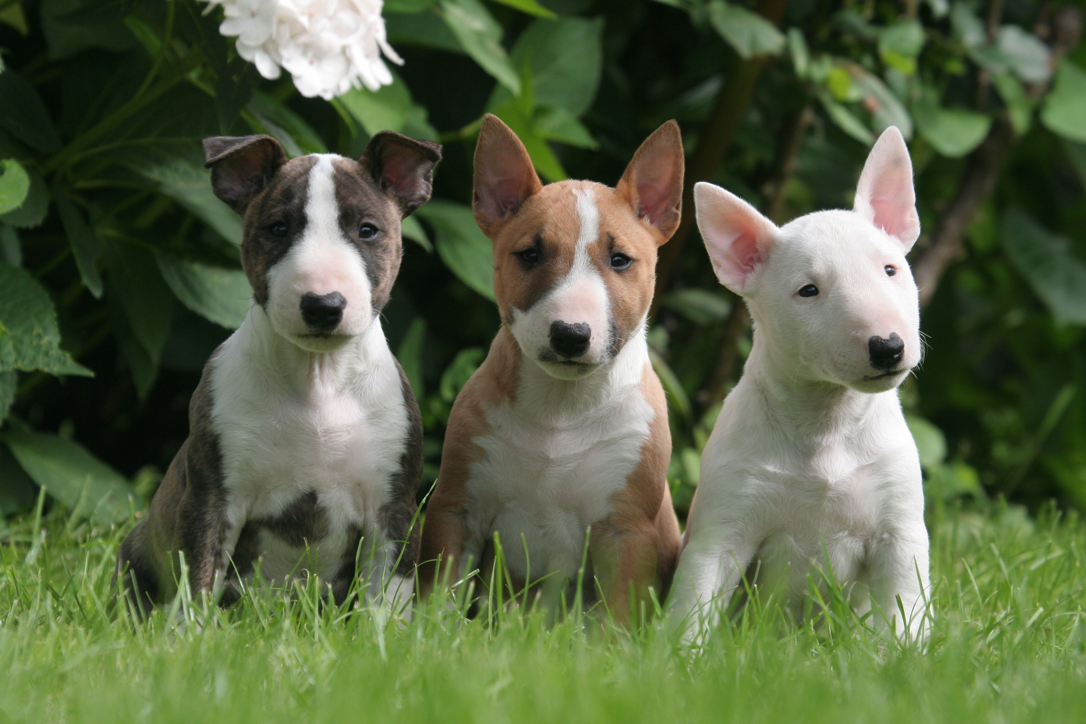 Bull Terrier Puppies Mini bull terrier, Cuccioli di