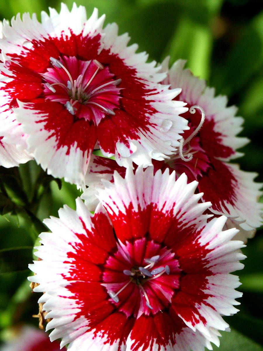 My favorite flower close up portrait of red white dianthus in my favorite flower close up portrait of red white dianthus in carnation family mightylinksfo Choice Image