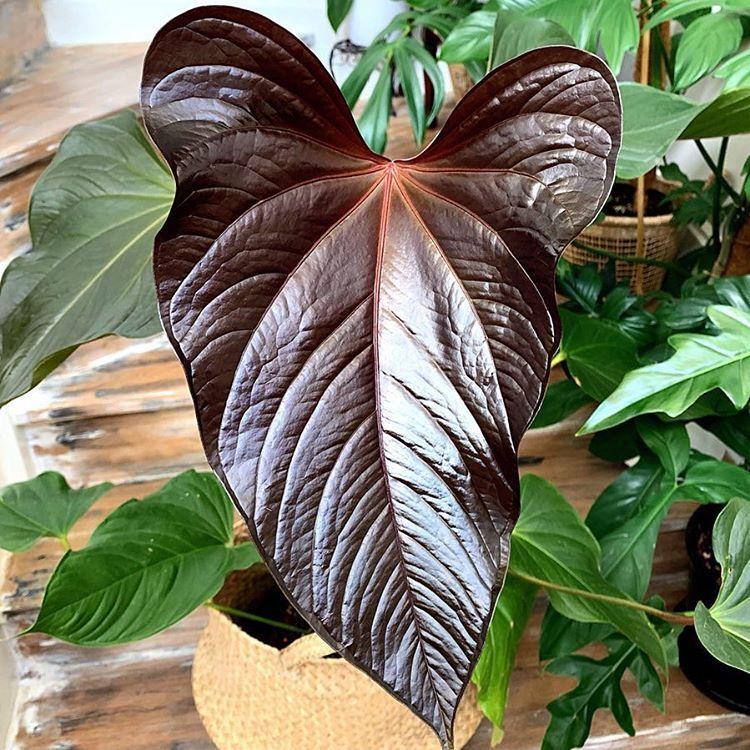 Anthurium Bosworth Beauty Anthurium Anthurium Plant Plants