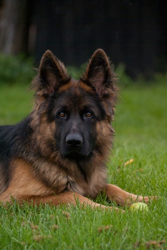 Toshy German Shepherd Puppies German Shepherd Dogs Sable