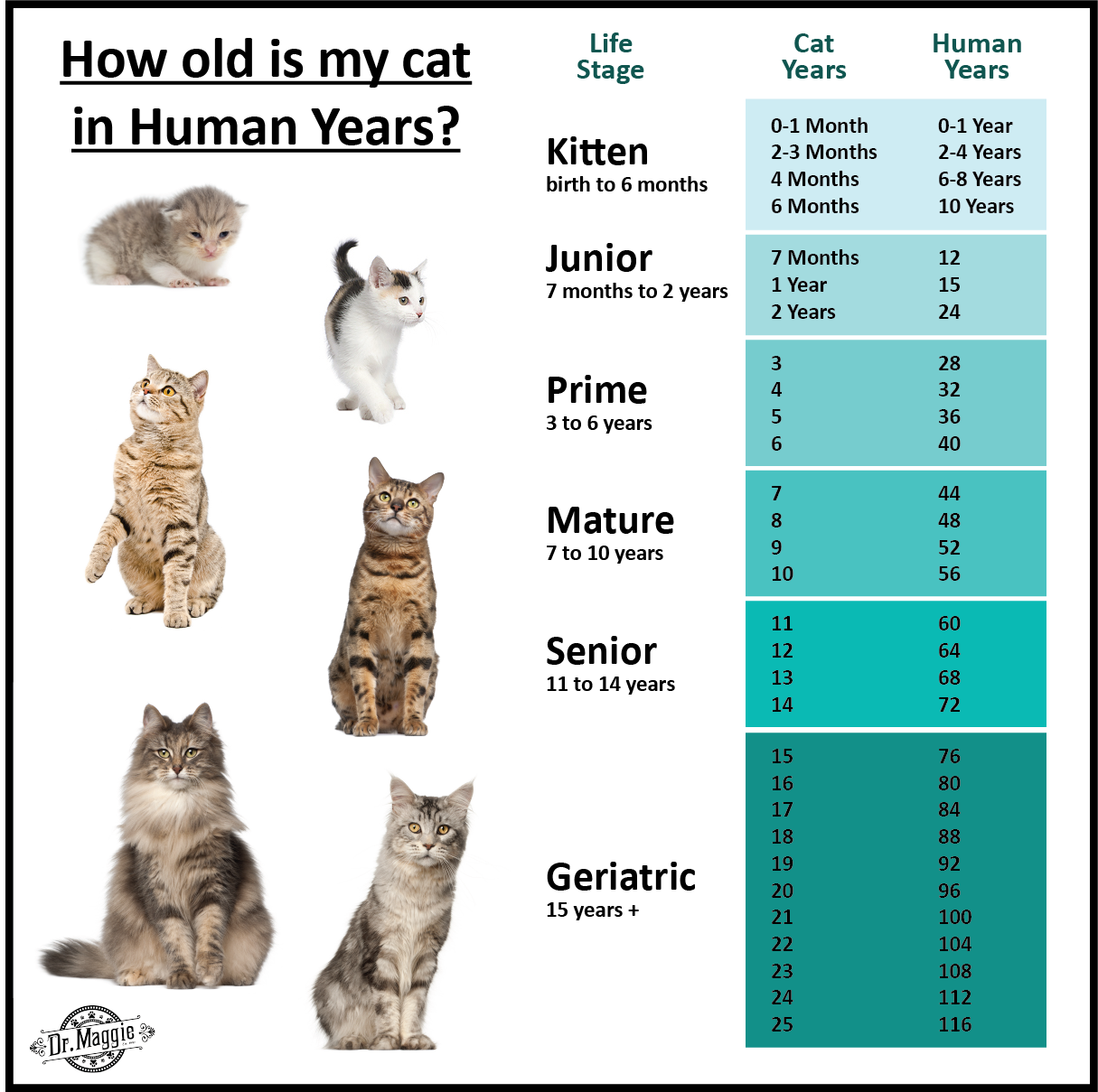 How Old Is Your Cat In Human Years Catlife Kittenforever Kitten Cat Life Old Things
