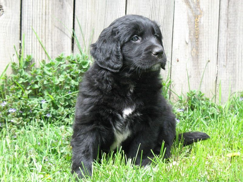 Newfoundland Golden Retriever Mix Puppies Golden Retriever Mix