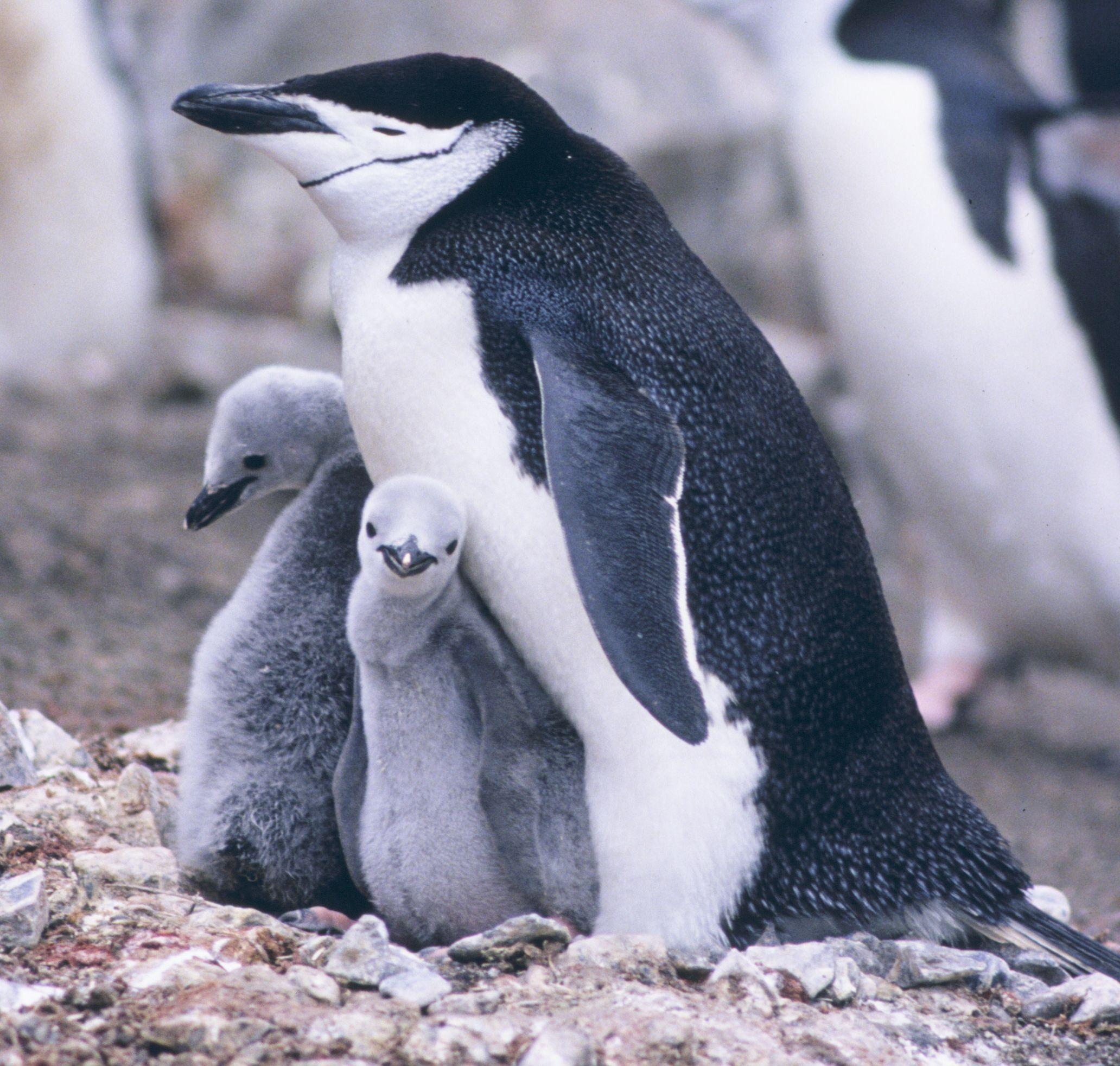 It S World Penguin Day Here Are Some Ways To Celebrate Especies De Pinguinos Especies En Peligro De Extinción Spheniscidae