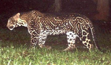 Pseudo-melanistic leopard or