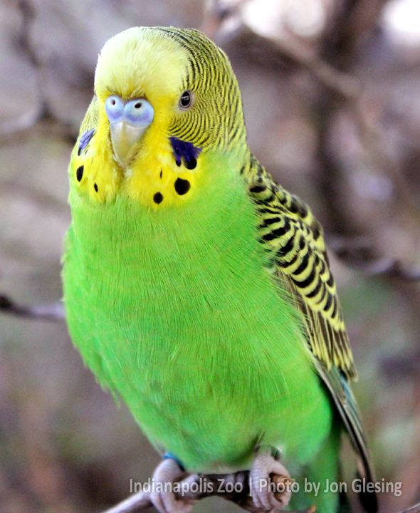 Did You Guess From Our Mysterymonday Teaser That This Was A Budgie See All Our Feathered Friends In The Encounters Area At The Budgies Parakeet Bird Parakeet