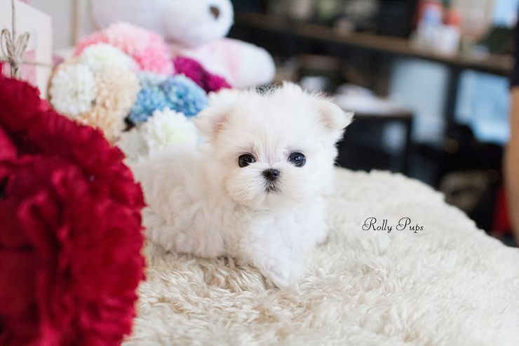 Introducing A New Maltese Boy Ace He Is A Teacup Maltese With