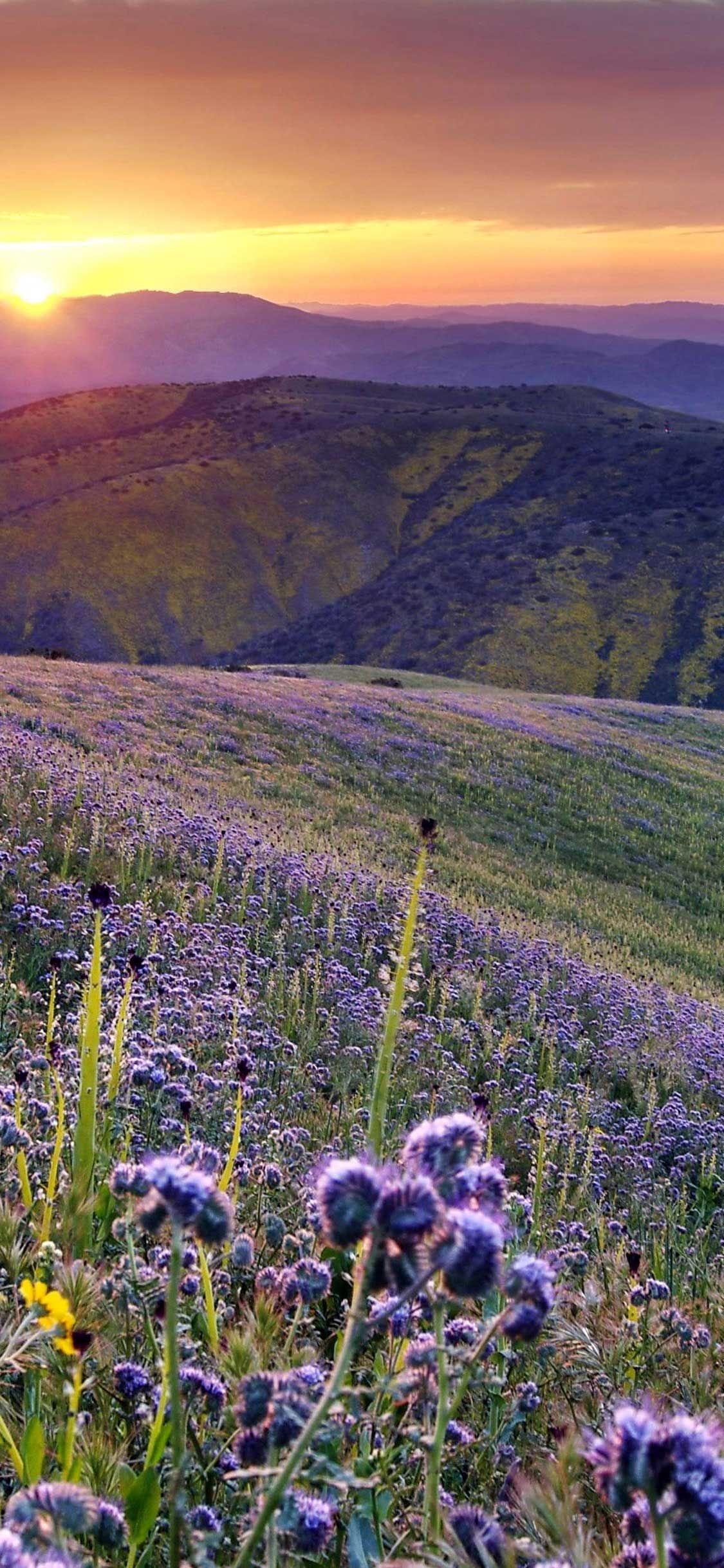 Iphone Pro Wallpaper California desert purple flower field