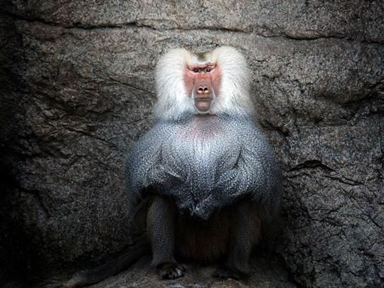 Baboons are African and Arabian Old World monkeys belonging to the genus Papio, part of the subfamily Cercopithecinae. The five species are some of the largest nonhominoid members of the primate order; only the mandrill and the drill are larger. #animals