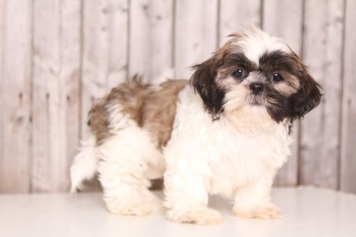Shih Tzu Puppy For Sale In Mount Vernon Oh Adn 36772 On