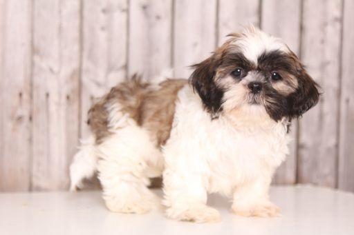 Shih Tzu Puppy For Sale In Mount Vernon Oh Adn 36772 On Puppyfinder Com Gender Male Age 9 Weeks Old Puppies For Sale Shih Tzu Puppy Shih Tzu