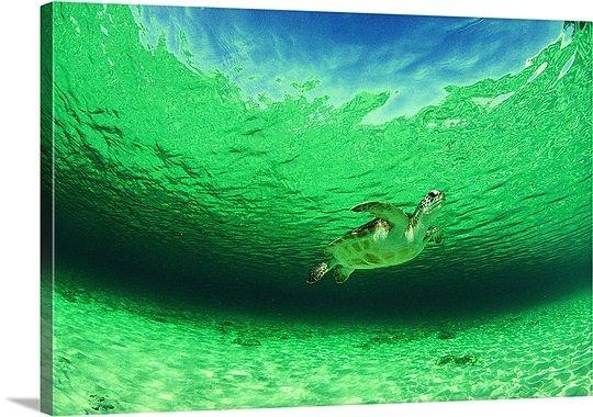Green sea turtle, Carribean Sea. great big canvas.com