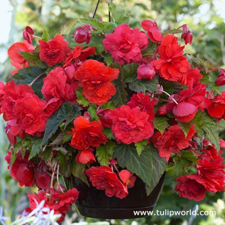 Red Hanging Basket Begonia Bulb Flowers Planting Bulbs Begonia
