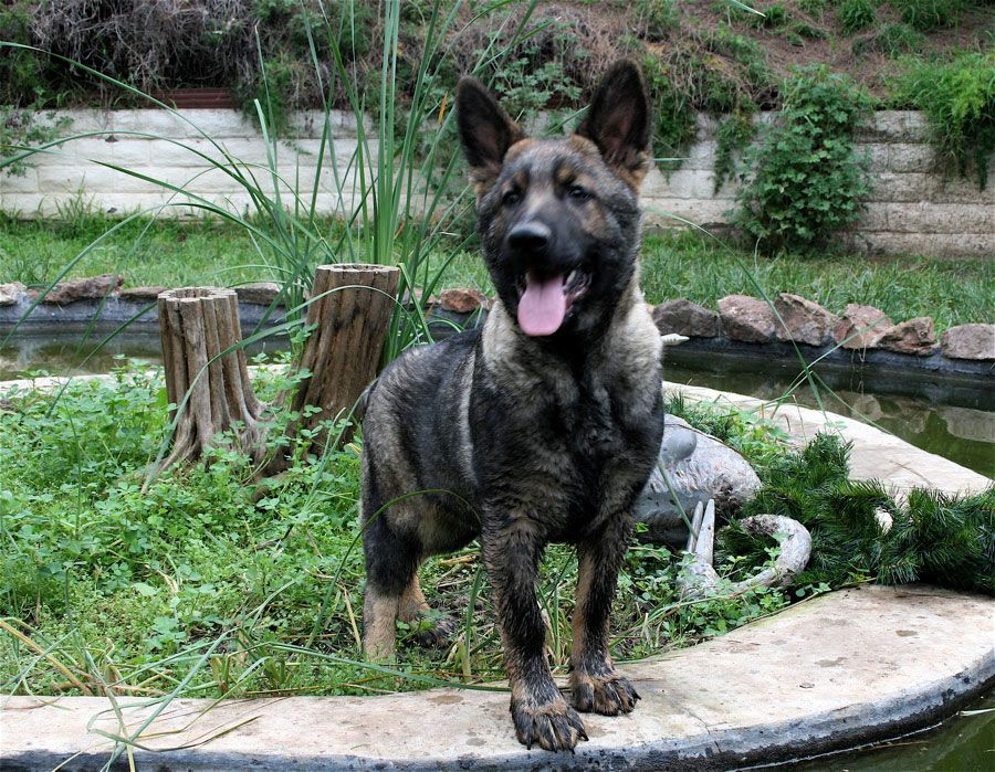German Shepherd Male Black Sable Female German Shepherd For Sale