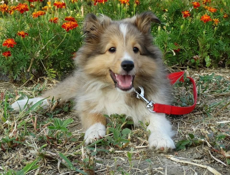 Sheltie Puppy Border