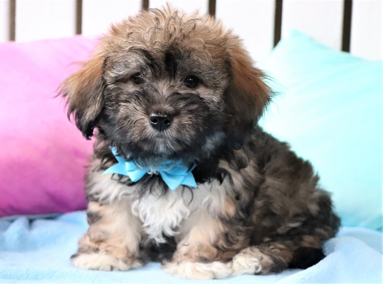 Jay Havanese Puppies For Sale Havanese Puppies Puppies