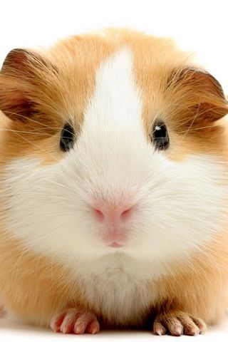 I M Gonna Win This Staring Contest Cavia S Cavia Baby Dieren