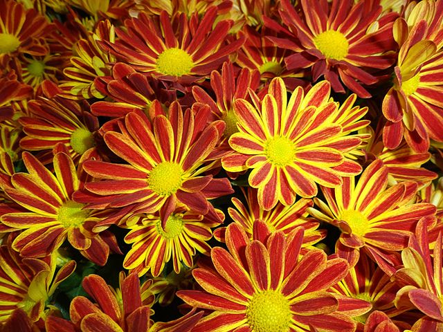 Red and yellow Chrysanthemums Yellow chrysanthemum