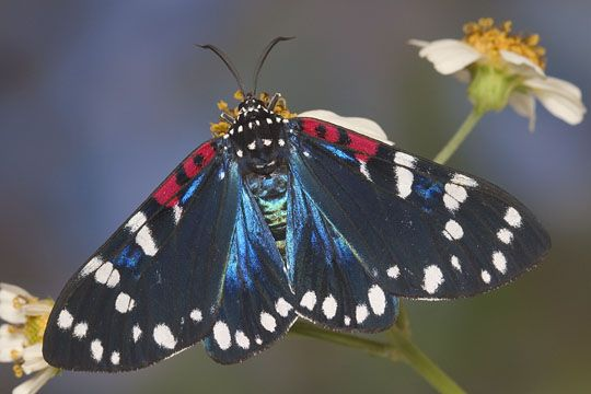 Faithful Beauty - Composia fidelissima - male | 3 Body Mods