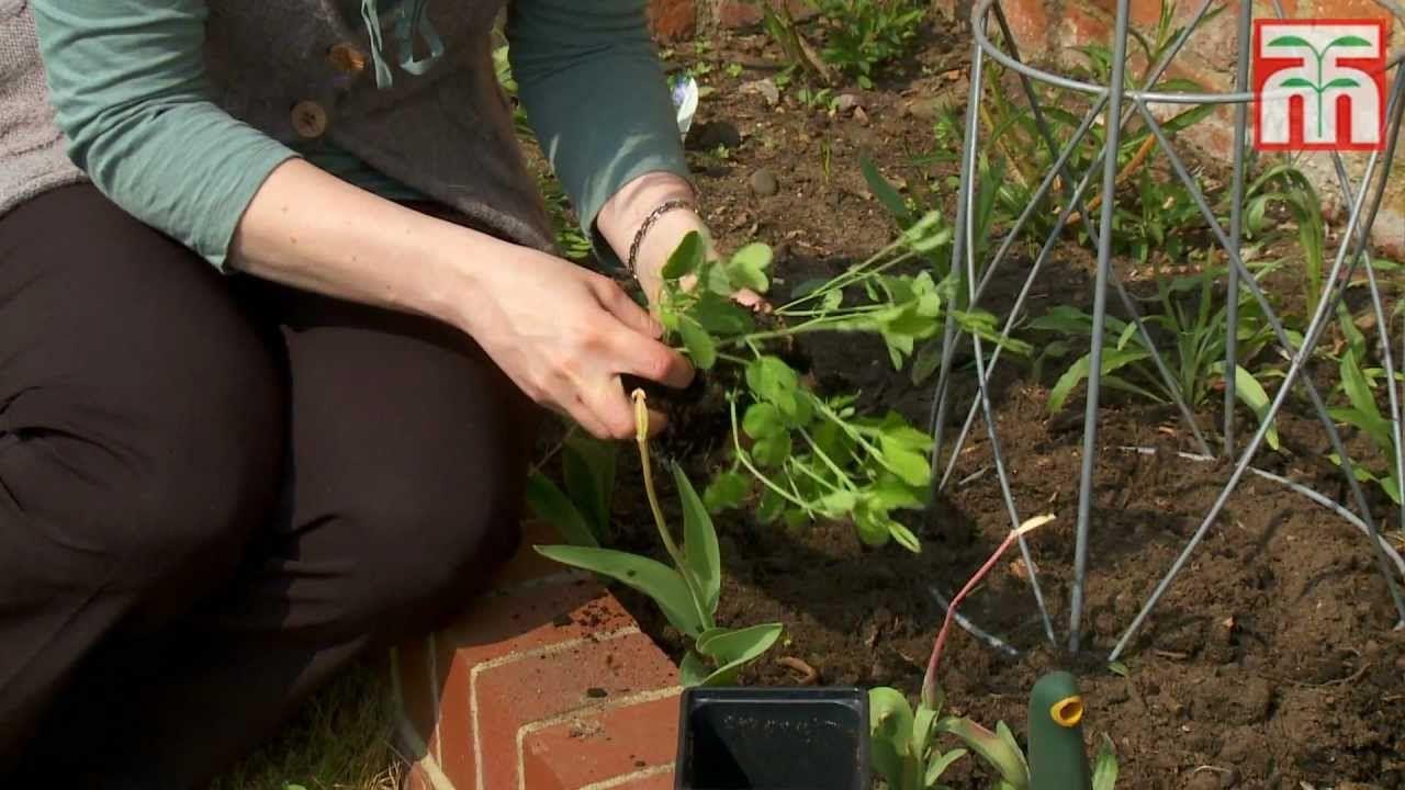 comment semer des graines de pois de senteur plantes pinterest pois de senteur semis et. Black Bedroom Furniture Sets. Home Design Ideas