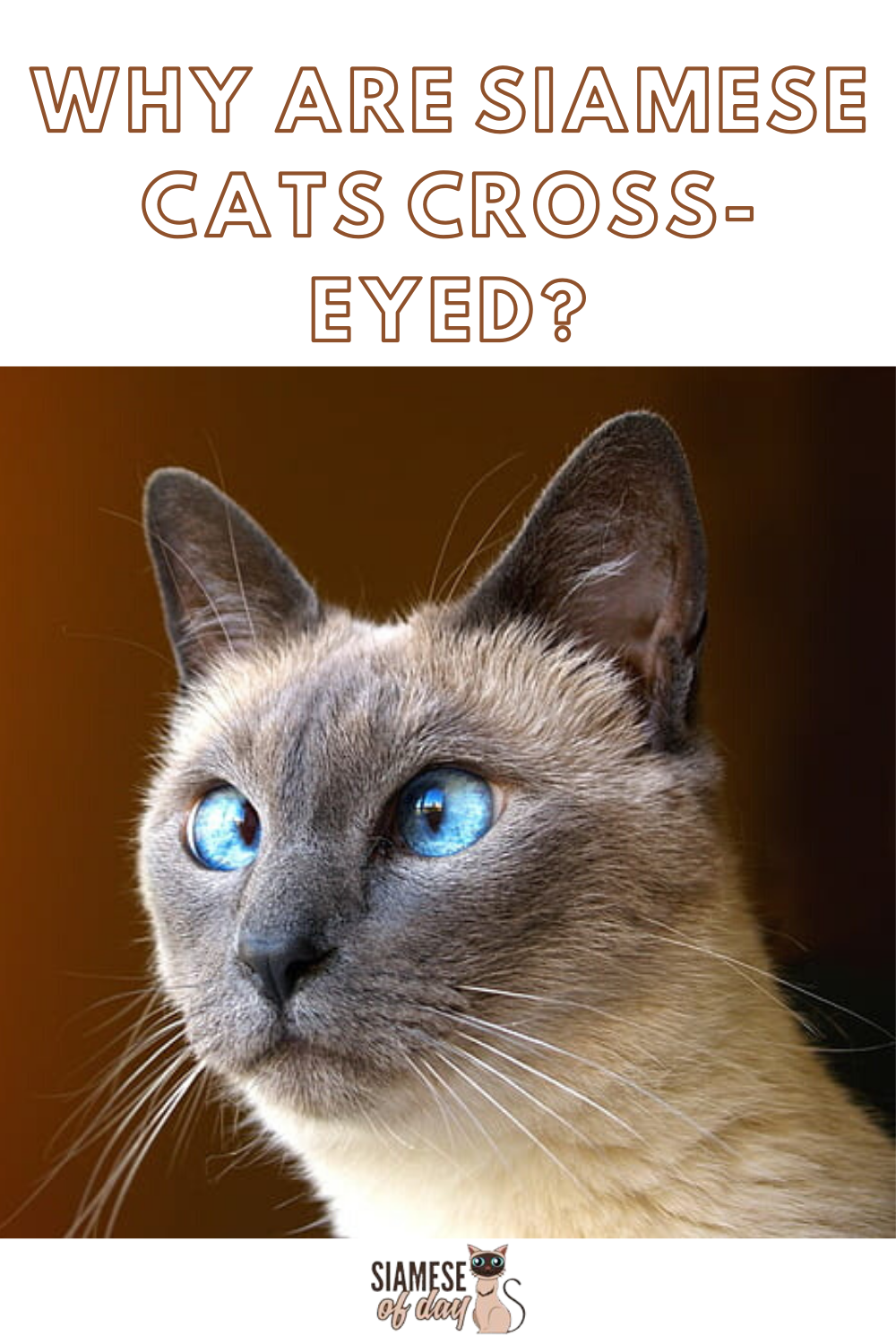 Is It Normal For a Siamese Cat to be CrossEyed? in 2020