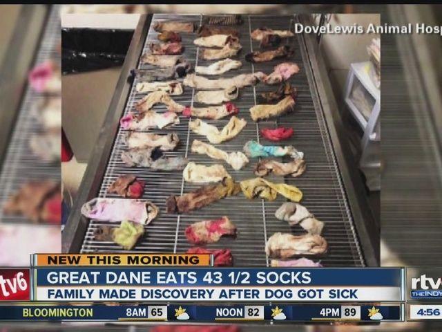 Mystery Of The Disappearing Socks Solved Dog Eats Dozens Of Socks