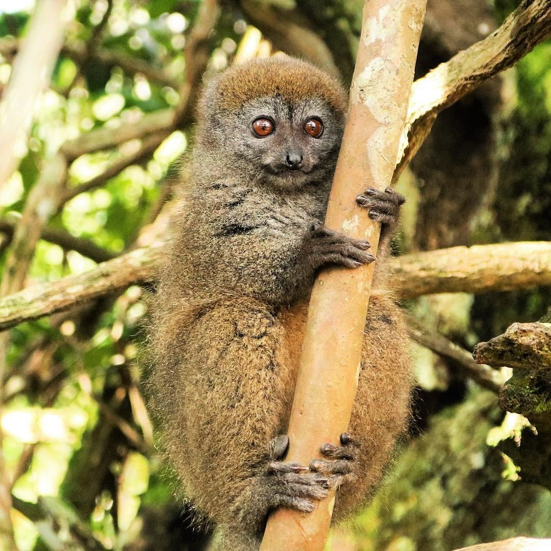 """Did this bamboo lemur just win the title of """"Cutest Animal in the World?"""" In our eyes it certain... - -"""