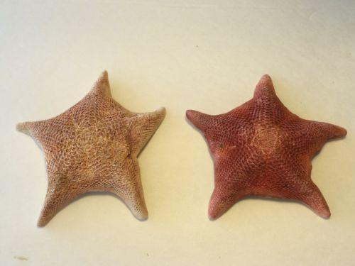 Morcego-estrela-do-mar-do-mar-concha-praia-casamento-Real-oficio-3-4-2-pecas