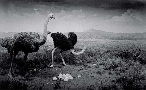 Ostrich-Wart Hog